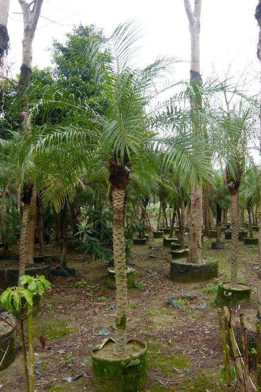 pygmy date palm seed