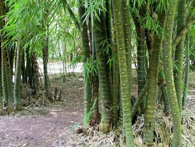 Bambusa - JungleKey.fr Image #50